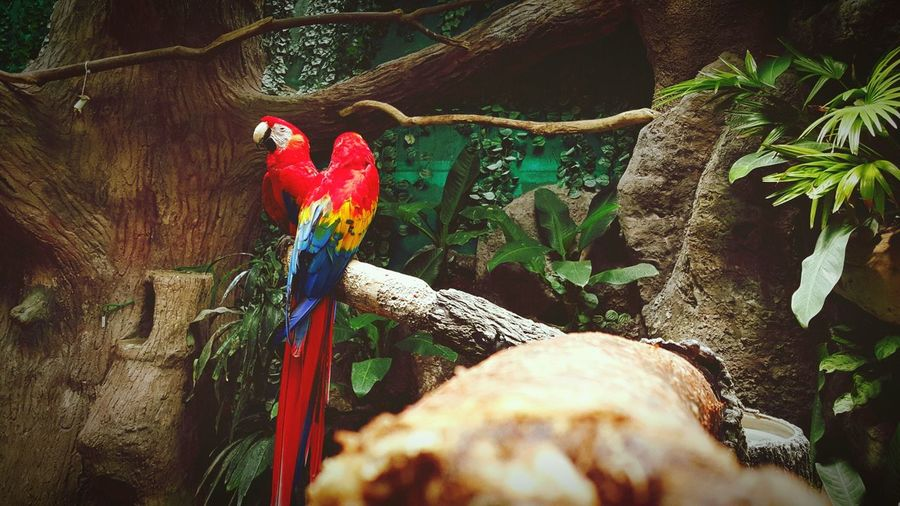 Scarlet macaws perching on tree
