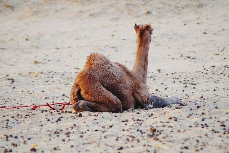 View of camel in desert
