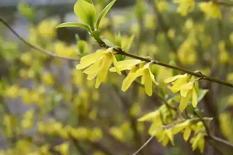 T.G.I.F. ♪ 皆さんにとって良い週末でありますように。| Bright and cheerful FORSYTHIA blooms『レンギョウ・ 連翹 』| FlowerFriday NoEditNoFilter Flower Forsythia Blooms 無加工 Yellow Flower Beauty In Nature Fragility Freshness Low Angle Shot Full Frame Mynikonlife Nikon Photography Flower Photography Flowers, Nature And Beauty Fleur ♡ Flowers,Plants & Garden EyeEm Flower EyeEm Best Shots - Flowers EyeEm Gallery EyeEmNewHere EyeEm Best Shots EyeEm Best Shots - Nature