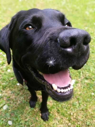 smile at the camera... The Den Dogs Of EyeEm Loveanimals Protruding Sticking Out Tongue Black Labrador Animal Mouth Panting Grass Area Animal Teeth Pet Collar Animal Tongue Retriever Animal Nose Labrador Retriever Growing Yawning