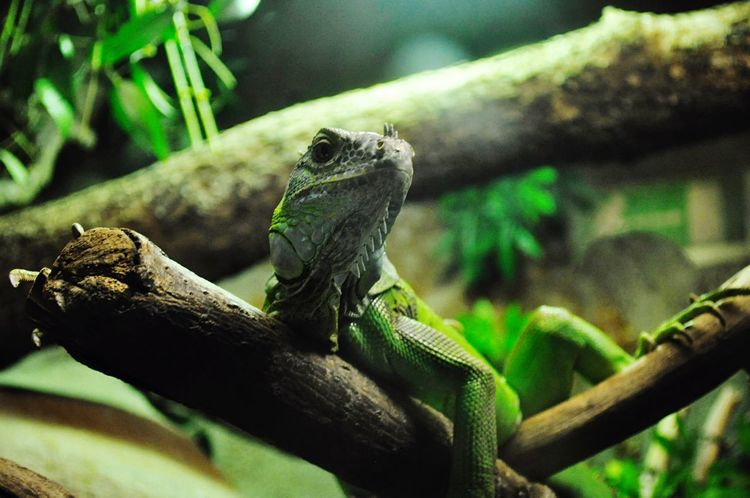 Reptile Animal Themes Animals In The Wild Lizard One Animal Animal Wildlife Bearded Dragon Green Color Focus On Foreground Wildlife Day Nature No People Chameleon Outdoors Tree Close-up Branch Perching Iguana