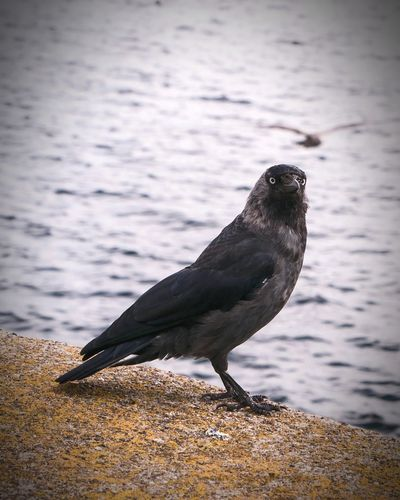 One Animal Bird Animals In The Wild Animal Wildlife Raven - Bird Animal Themes Jackdaw Jackdaws Beach No People