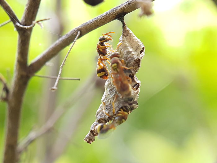 Close-up of bees hanging on branch