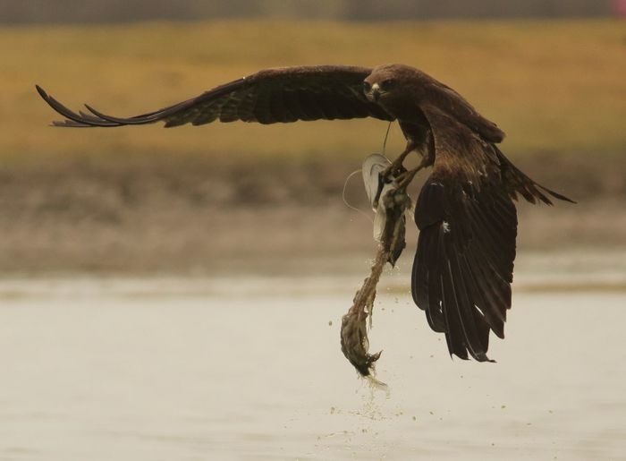 Golden Eagle Carrying Fish While Flying Over Lake