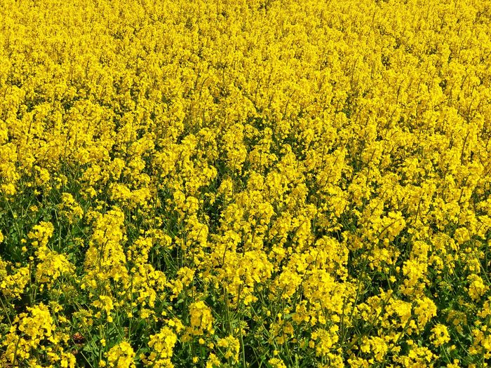 Field Colza Rapeseed Yellow Nature Beauty In Nature Flower Flowering Plant Agriculture Rural Scene Growth Abundance Oilseed Rape Plant Freshness Landscape Farm Land No People Scenics - Nature Tranquility Crop  Springtime Outdoors Flowerbed