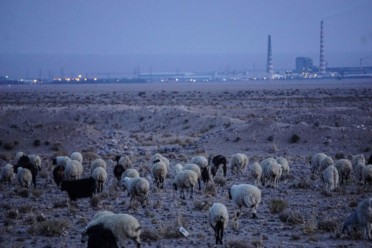 Travel Destinations Travel Photography Iran Shia Community Nomadic Zoroastrian Islamic Architecture Large Group Of Animals Mammal Sheep Group Of Animals Animal Themes Flock Of Sheep Animal Livestock Domestic Animals Domestic Environment Landscape Land No People Agriculture Outdoors Herd Herbivorous
