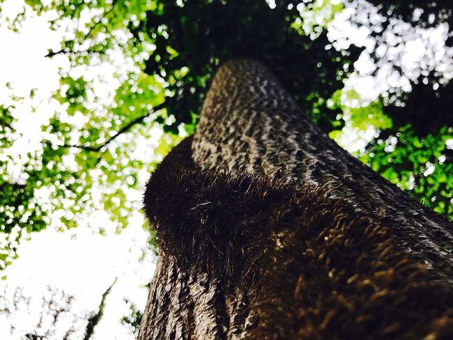 Liana on the tree🌾🌲- Liana Tree Nature Outdoors No People PhonePhotography Photography EyeEmNewHere Beauty In Nature Forest Photography Forest Sky