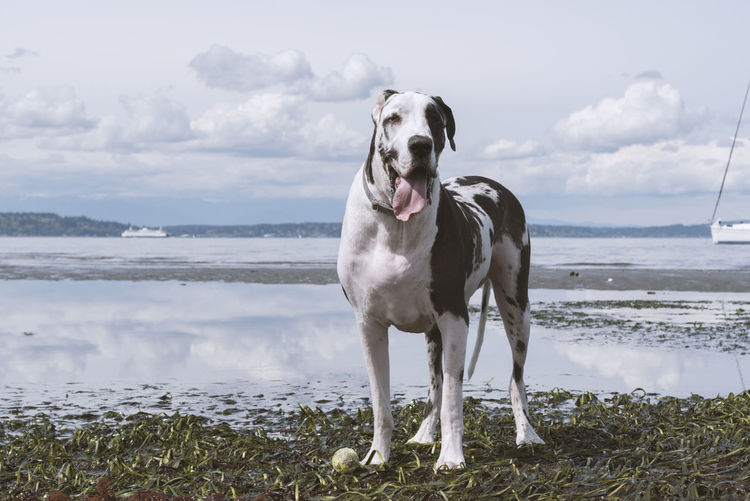 Happy great dane dog with his tennis ball on low tide beach with seaweed.