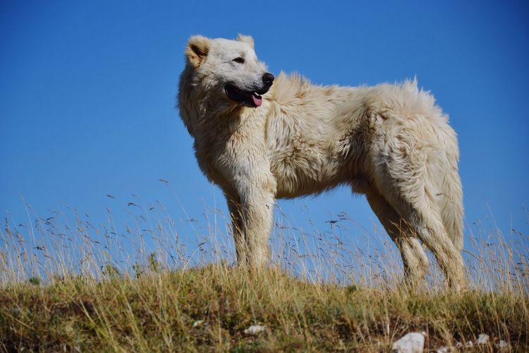Dog Sheepdog Animal Themes Animal One Animal Mammal Animals In The Wild Grass Vertebrate Nature Day No People Sky Domestic Animals Pets Clear Sky Blue Sunlight Domestic