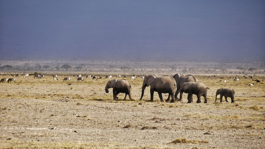 elephant family walking on flat landscape EyeEm Gallery EyeEm Selects EyeEm Travel Photography Landscapes Flat Landscape Herd Of Elephants Walking Around Togetherness Amboseli National Park Large Group Of Animals Large Group Of Animals Animal Themes Mammal Animals In The Wild Outdoors Day No People Animal Wildlife Nature African Elephant An Eye For Travel The Traveler - 2018 EyeEm Awards