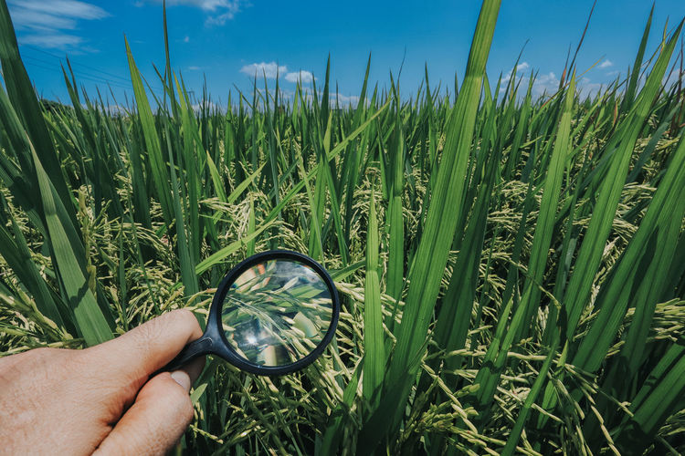 Paddy field in sekinchan Plant Human Hand Green Color Human Body Part Growth Hand Nature One Person Grass Field Land Sky Real People Body Part Day Landscape Agriculture Holding Beauty In Nature Unrecognizable Person Outdoors Finger Blade Of Grass Paddy