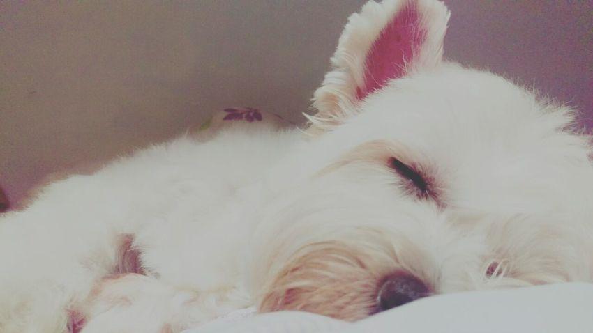 I Love My Dog My Family Chi-wei Smile 繼薇 Taking Photos Have A Good Dream Animals 繼薇的睡姿千篇一律,沒有那種不雅的醜態,果然是個老實又氣質的孩子( ^ω^)