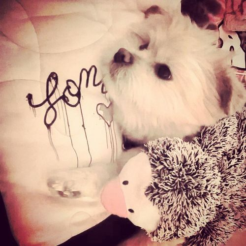 Ma, Pepper and I are tired..🐧🐶 Naptime ? Lon Londonharvey Lapom pomeranian pepper penguin dogtoys dog pup myboy bestfriend womensbff dogsareawesome companionship mylove instacute instadog dailydog CUTENESS cuterthanBOO