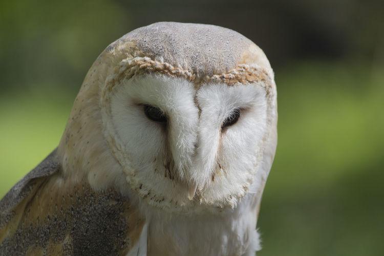 Barn owl Animal