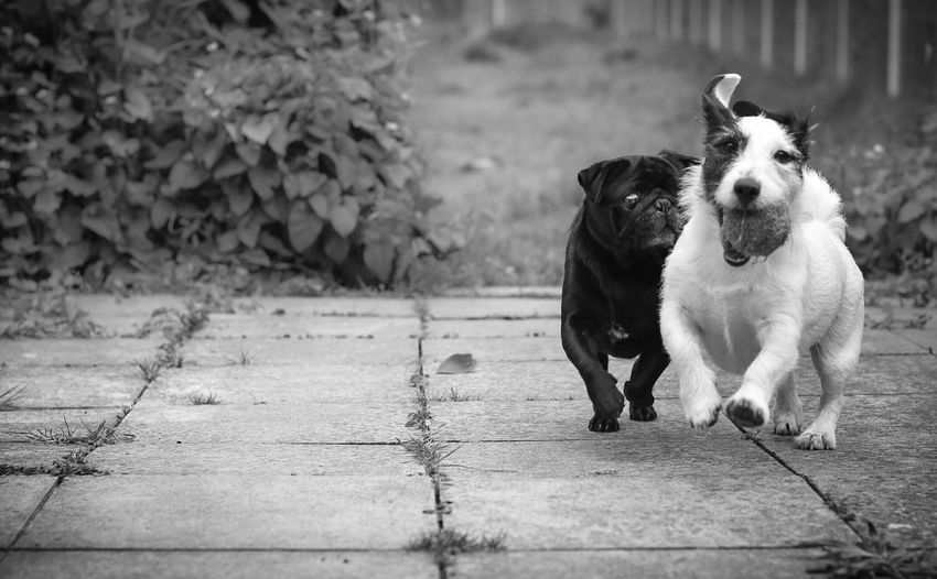 Playful dogs running on paved footpath