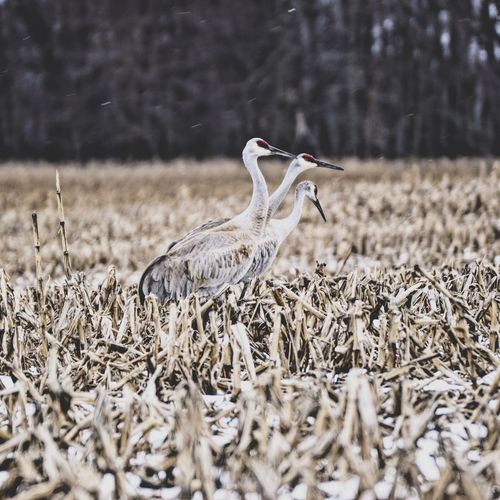 Two males and one female sandhill crane Animals In The Wild Animal Themes Bird Animal Wildlife Field Nature No People One Animal Day Outdoors Grass Mammal Sandhill Crane Crane Wildlife Wildlife & Nature Wildlife Photography Wilderness Bird Watching