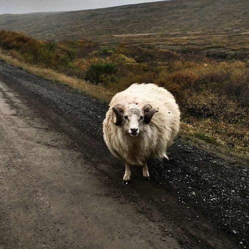 Icelandic Sheep RAM Icelandic Agriculture Icelandic Animal