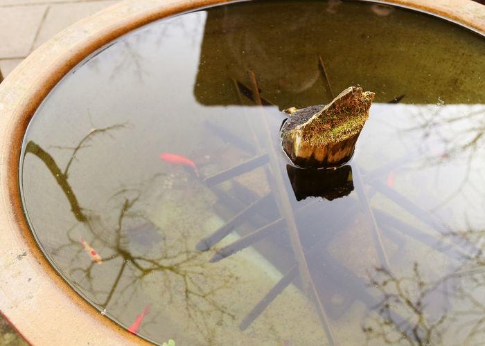 Koi carps in pond