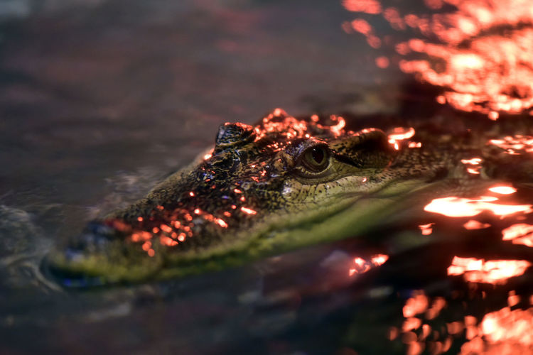 Close-up of crocodile swimming in lake