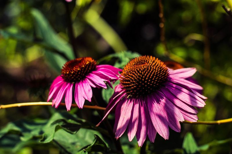 Patra Evan Beauty In Nature Close-up Coneflower Day Flower Flowering Plant Fragility Growth Nature Outdoors Petal Pink Color Plant