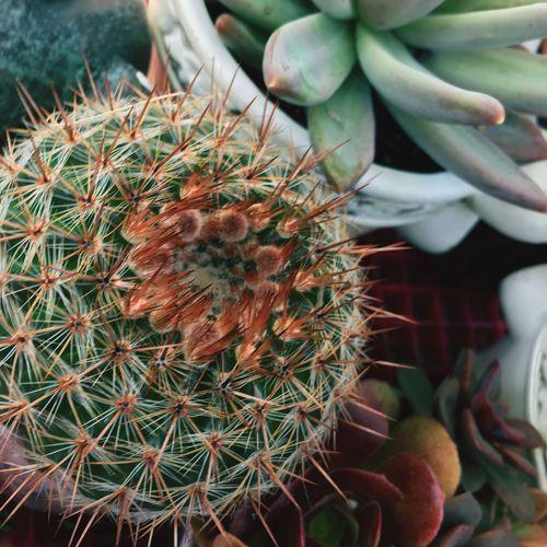 Barrel cactus, Unedited Barrel Cactus Succulent Plant California Farmer's Market Plant Botanical Retro Seventies Thorn Spiked Nature Close-up Outdoors Day
