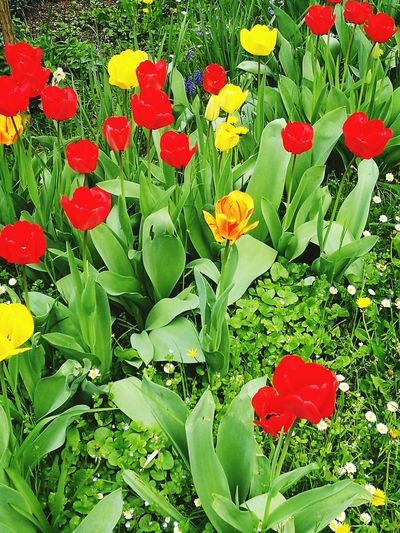 Red Tulips Beauty In Nature Flowers Tulips🌷 Tulip Plant Bulb
