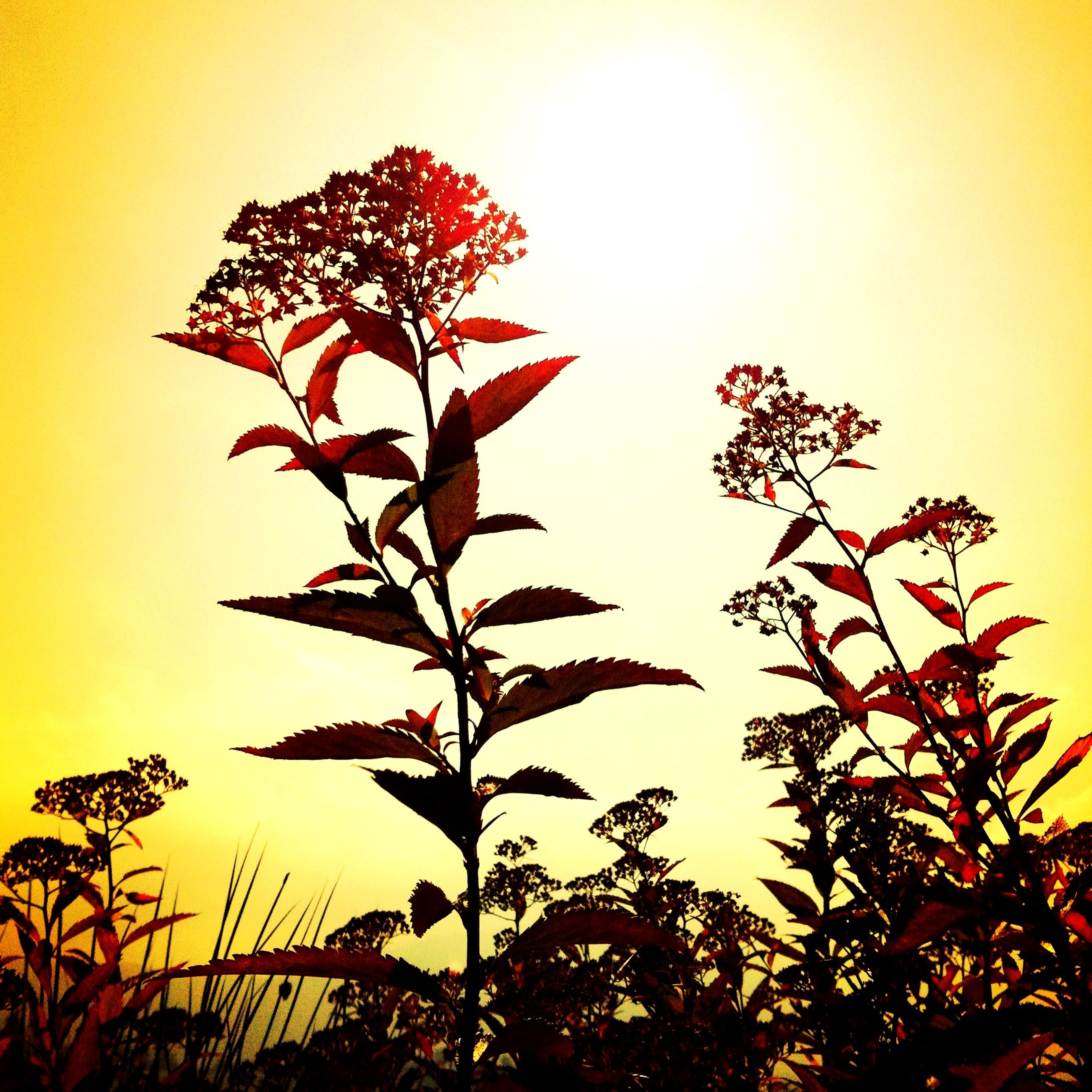 sunset, growth, leaf, orange color, nature, beauty in nature, silhouette, branch, clear sky, low angle view, sun, tree, plant, sky, tranquility, sunlight, stem, red, close-up, scenics