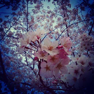 桜 プチ花見 春 学生会 役員研修会後シャボン玉熊本運動公園#sakura#goodday#nice#natural#active#japan#spring#soapbubble#warm#kumamoto#flower#cherryblossom#sky