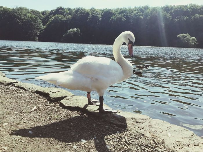 Breathtaking Vertebrate Bird Water Animal Themes Animal Animals In The Wild Nature Lake One Animal Sunlight Swan White Color Beauty In Nature Day Outdoors Water Bird Animal Wildlife Tree No People