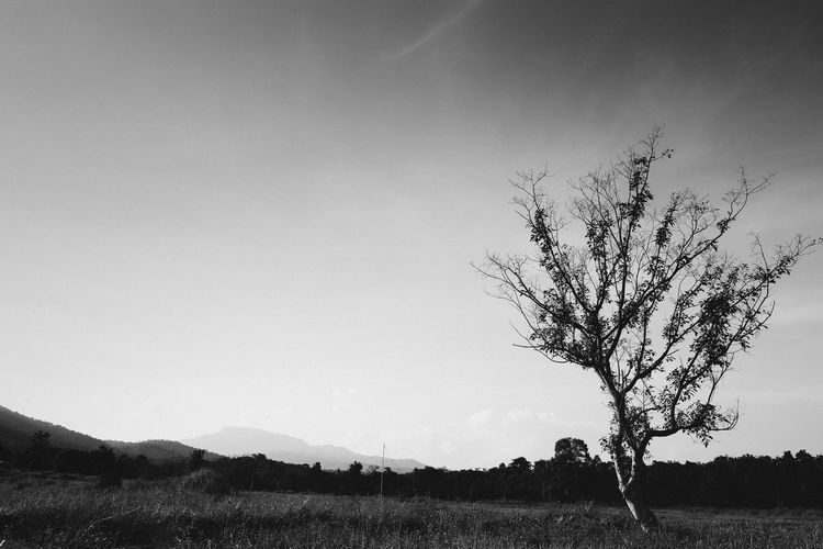 Big tree in the wide field and sky.Monochrome Sky Landscape Tree Environment Beauty In Nature Nature Plant Field Land Day Clear Sky No People Outdoors Monochrome Mountain Copy Space