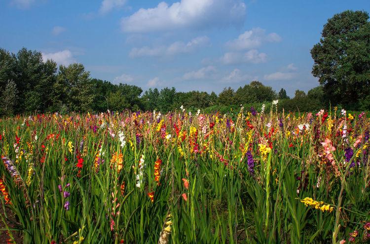 Gladiolen soweit das Auge reicht ... Field Of Flowers Flowers Blumen Blumenpracht🌺🍃 Blumenmeer Gladiolus Gladioli EyeEm Nature Lover Beautiful Nature