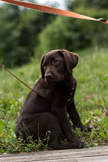 labrador Labrador Brown Fur Brown Eyes Summertime Pet Adorable Dog Forest Dog Love Dogs Of EyeEm Dogoftheday Dog Photography Dog Portrait Dogmodel Dogphoto Pets Tree Dog Portrait Close-up Pet Collar Growing Pet Equipment Leash Pampered Pets