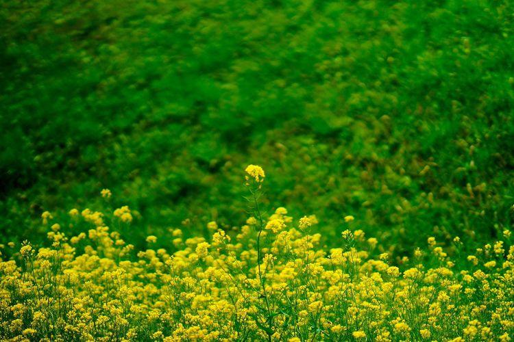 유채꽃 Flower Beauty In Nature Growth Nature Yellow Plant Green Color Field Fragility Springtime Flower Head Blossom Petal Outdoors Freshness Oilseed Rape Agriculture No People Close-up Insect