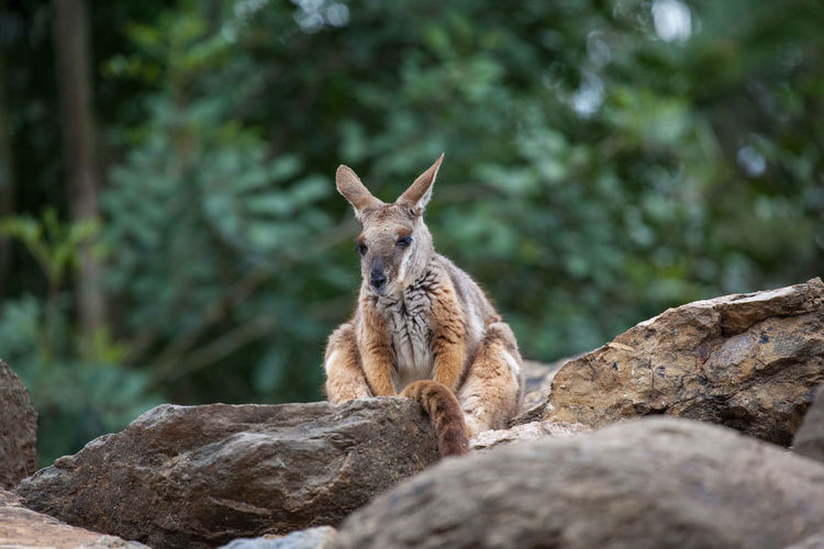 Low angle view of wallaby on rock against trees
