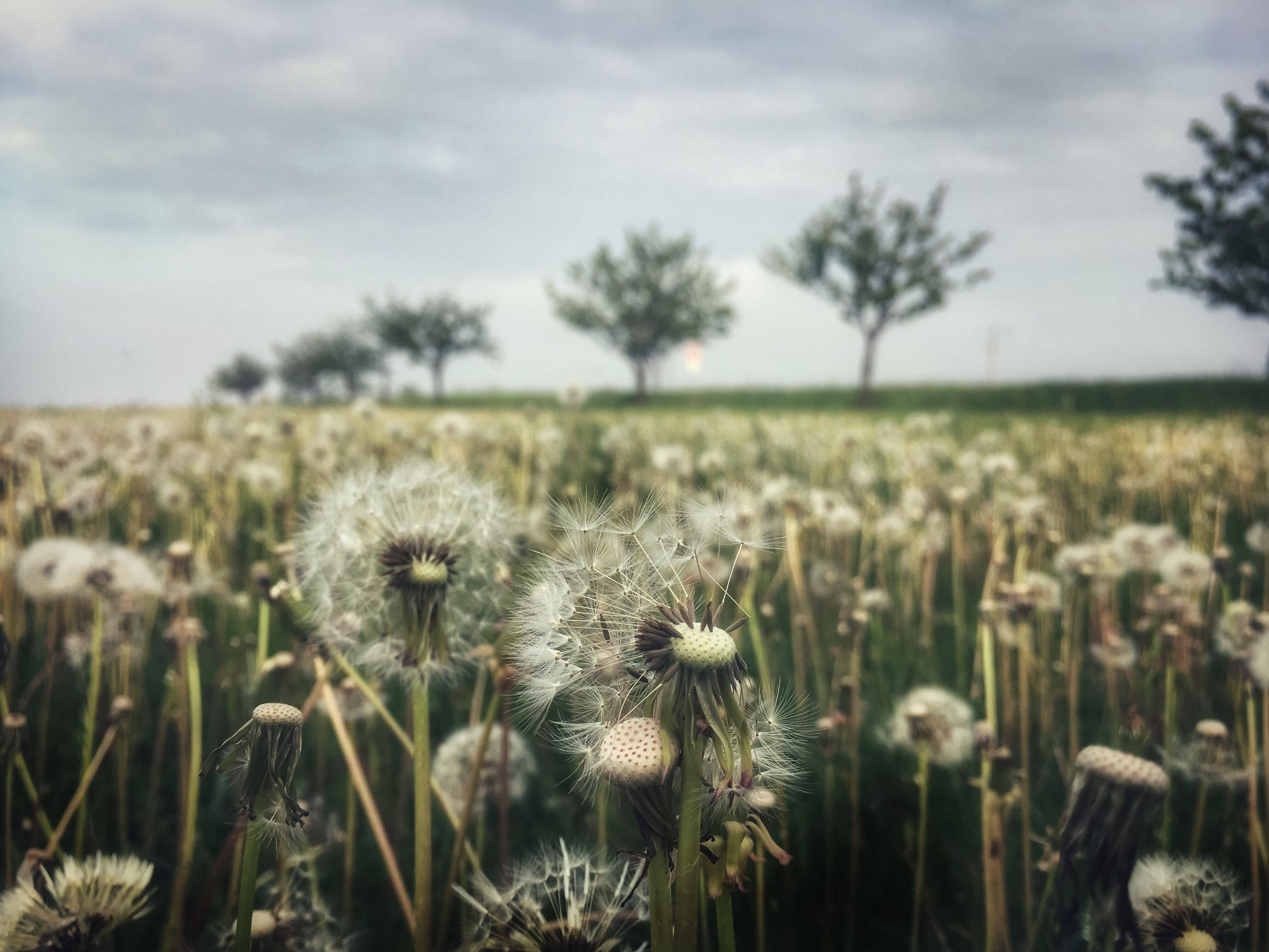 plant, growth, field, flower, land, beauty in nature, flowering plant, nature, sky, landscape, environment, fragility, cloud - sky, vulnerability, no people, day, tranquility, close-up, rural scene, flower head, outdoors