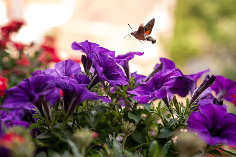 Close-up of insect hovering above purple flower