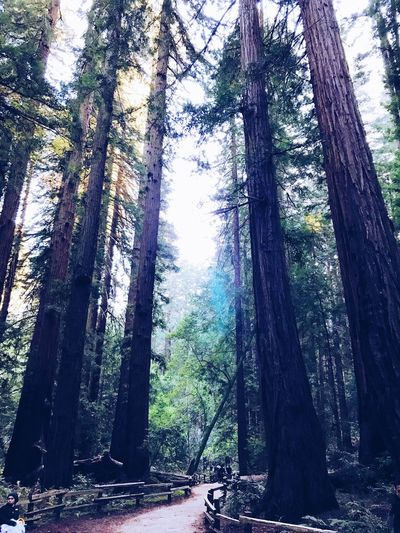 Sanfranscisco California Muirwoods Tree Tree Trunk Forest Day Growth Nature California Dreamin Outdoors WoodLand Branch Sky Beauty In Nature
