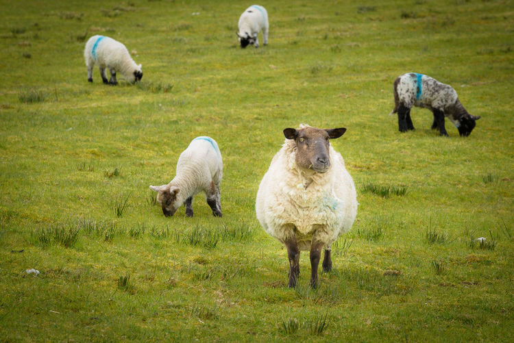 The Family Ireland Animal Themes Day Domestic Animals Flock Of Sheep Grass Grazing Lamb Livestock Mammal Nature No People Outdoors Pasture Sheep Young Animal