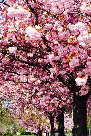 Flower Blossom Cherry Blossom Tree Pink Color Springtime Cherry Tree Fragility Beauty In Nature Freshness Branch Low Angle View Growth Nature Day No People Outdoors Backgrounds Architecture Close-up