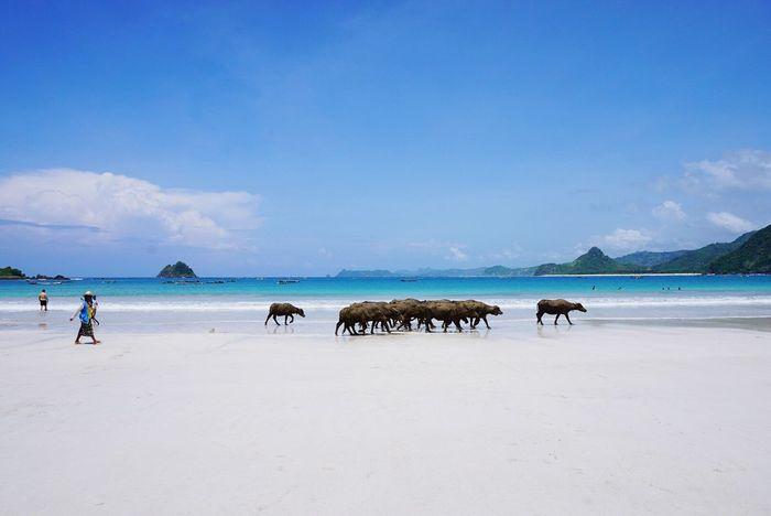 A farmer with a herd of buffalos by the Selong Belanak beach in Lombok, Indonesia Buffalo Beach Selong Belanak, Lombok