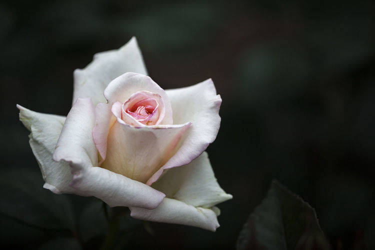 Close-Up Of White Rose Against Blurred Background
