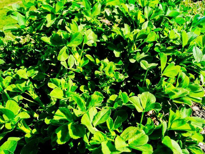 Green lrafs