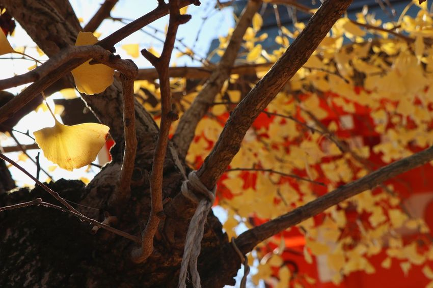 Ginkgo/銀杏 Yellow Branch Leaf Tree No People Food And Drink Nature Low Angle View Growth Animal Themes Day Close-up Beauty In Nature Outdoors Freshness Ginkgo Canon EOS M5