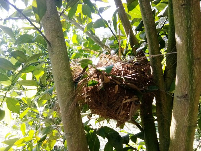 รังนก Tree Tree Trunk Leaf Branch Close-up Plant Green Color Bird Nest Robin Stork Young Bird Baby Chicken Animal Nest Creeper Plant Bamboo Grove Cygnet Gosling Duckling Coot Banana Tree Growing Cocoon Mute Swan Chick White Stork Ivy Vine Nest