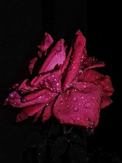 Red Rose Flower With Waterdrops Click By Me Mobilephotography 😃.