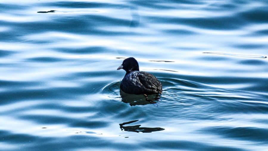 Water Vertebrate Animals In The Wild Bird Lake Animal Swimming Animal Wildlife Animal Themes Waterfront One Animal Rippled Nature Coot No People Duck Day Poultry High Angle View