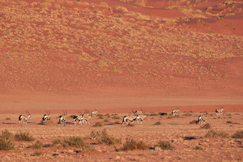 Herd of oryx in the namib desert