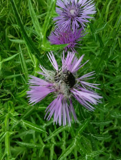 my garden Flower Head Flower Passion Flower Thistle Purple Petal Insect Pollination Eastern Purple Coneflower Bee Pollen