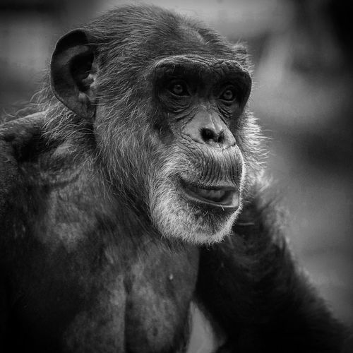 Zoophotography Animalphotography Blackandwhite Photography Nature Photography This is Natural Beauty Nature_collection Nature ZooLife Portrait Close-up Primate Ape Chimpanzee Monkey