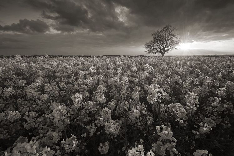 Low Light Beauty In Nature Field Fieldscape Nature Lone Tree Landscape Bare Tree Rapeseed Field BW Collection Bw Field Monochrome Mono Landscape Sunset Bw Sunset Outdoors Rural Scene Scenics Naturelovers Northamptonshire Nature_collection Flower Collection Flowers, Nature And Beauty The Great Outdoors - 2017 EyeEm Awards Black And White Friday